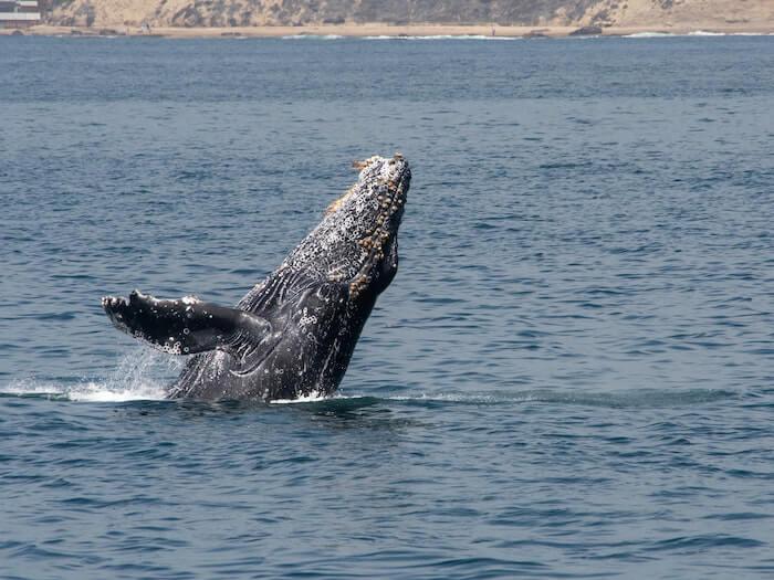 los angeles walvissen